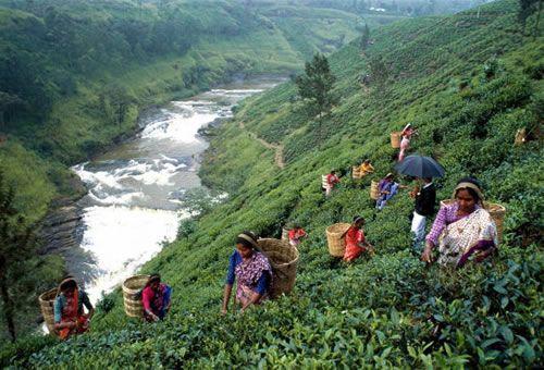 Сбор чайного листа в Шри-Ланке