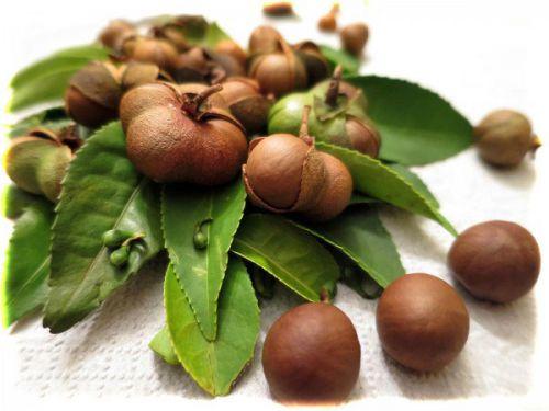Плоды чайного дерева