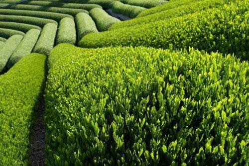 Чайные плантации на Шри Ланке