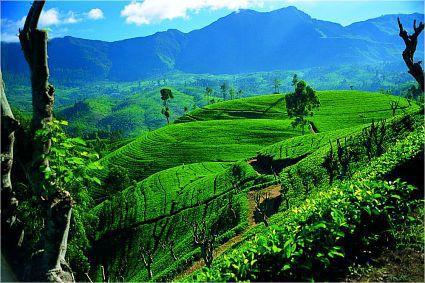 Высогорные чайные плантации Шри Ланки
