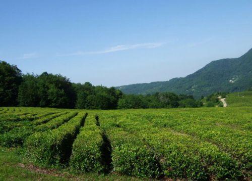 Чайная плантация в Краснодарском крае