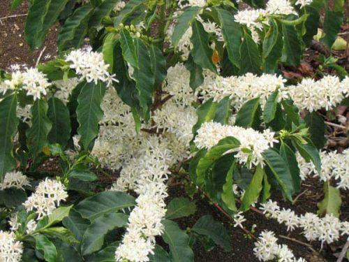 Цветущее кофейное дерево
