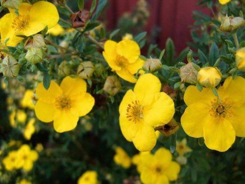 Цветы лапчатки