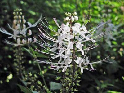 Цветки ортосифона