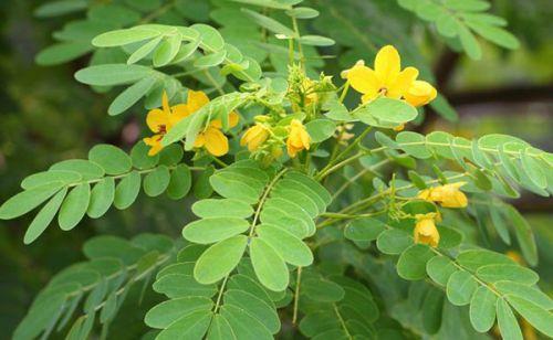 Растение сенна