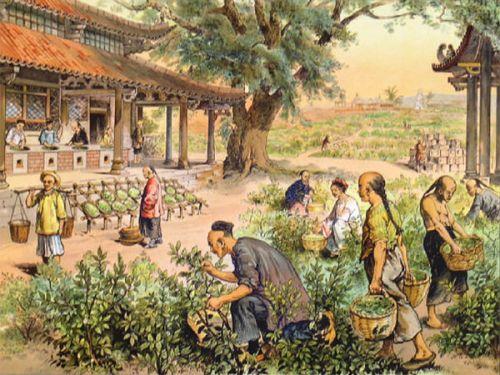 Выращивание чая в Китае
