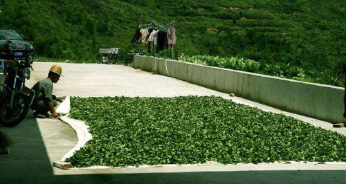 Завяливание листьев чая на солнце