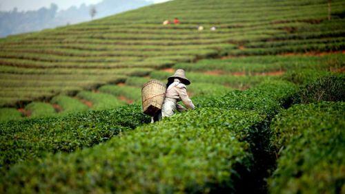 Чайные плантации во Вьетнаме