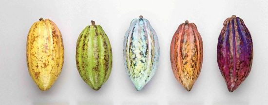 Какао-бобы форастео