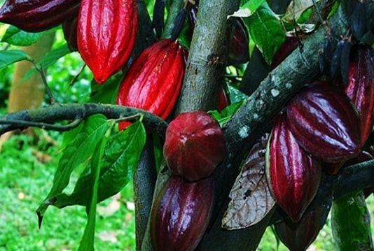 Какао-бобы на дереве