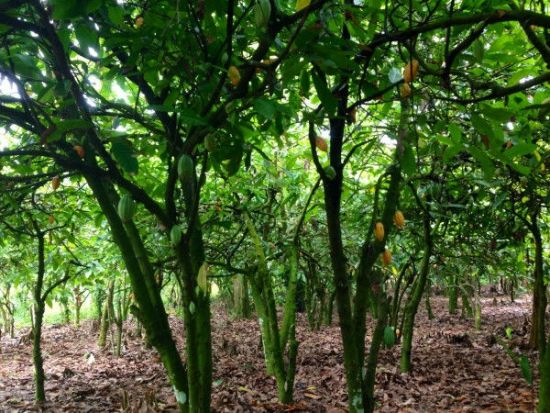 Какао деревья