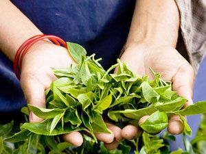 Листья чайного куста