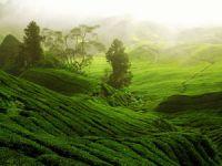 Чайная плантация на Цейлоне