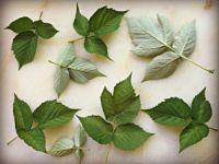 Малиновые листья